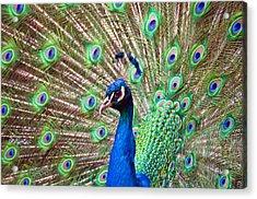 Landscape Peacock Acrylic Print