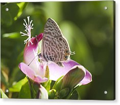 Acrylic Print featuring the photograph Lang's Short-tailed Blue II by Meir Ezrachi