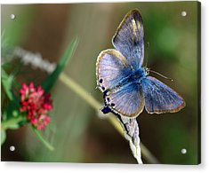 Lang's Short-tailed Blue Acrylic Print