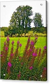 Lanna Fireweeds County Clare Ireland Acrylic Print