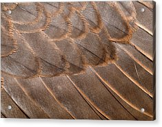 Lanner Falcon Wing Feathers Abstract Acrylic Print