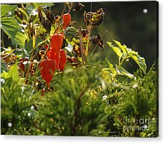 Acrylic Print featuring the photograph Lantern Plant by Brenda Brown