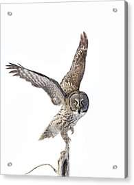 Lapland Owl On White Acrylic Print