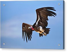 Lappetfaced Vulture Acrylic Print
