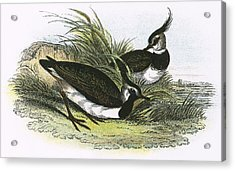 Lapwing Acrylic Print by English School