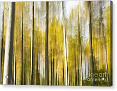 Larch Grove Blurred Acrylic Print by Anne Gilbert