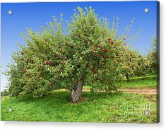 Large Apple Tree Acrylic Print by Anthony Sacco