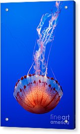 Large Colorful Jellyfish Atlantic Sea Nettle Chrysaora Quinquecirrha  Acrylic Print