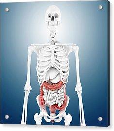 Large Intestine And Skeleton Acrylic Print by Springer Medizin