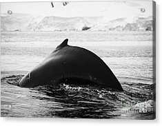 large male Humpback whale with arched back diving in Wilhelmina Bay Antarctica Acrylic Print by Joe Fox