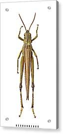 Large Marsh Grasshopper Acrylic Print
