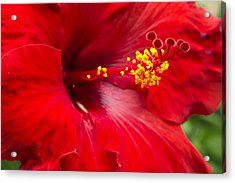Large Red Hibiscus Acrylic Print by Leigh Anne Meeks
