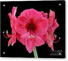 Large Silky Pink Amaryllis Flower On Black Acrylic Print by Rosemary Calvert