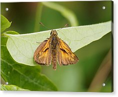 Large Skipper Butterfly Acrylic Print