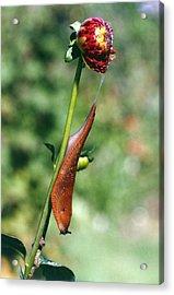 Large Slug On Dahlia Plant Acrylic Print by Brian Gadsby/science Photo Library