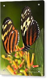Large Tiger Butterflies Acrylic Print by Elena Elisseeva