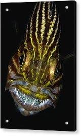 Large-toothed Cardinalfish Brooding Acrylic Print