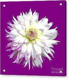 Large White Dahlia On Purple Background. Acrylic Print by Rosemary Calvert