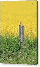 Lark And Canola Acrylic Print by Susan Copley