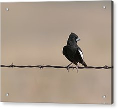 Acrylic Print featuring the photograph Lark Bunting by Avian Resources