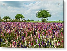 Larkspur Fields Forever Acrylic Print by Lynn Bauer