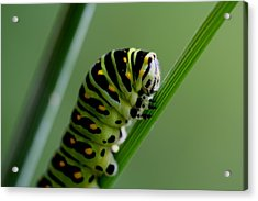 Larva...caterpillar  Acrylic Print by Larry Trupp