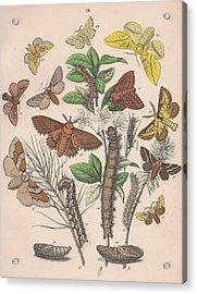 Lasiocampa Acrylic Print by W Kirby