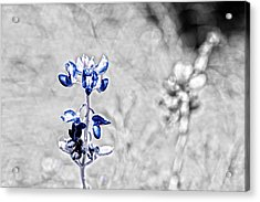 Last Of The Bluebonnets With Color Isolation Acrylic Print by Lorri Crossno