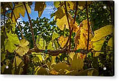 Last Of The Harvest Acrylic Print by David Cote