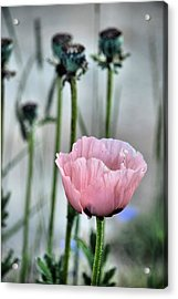 Last Of The Poppies Acrylic Print