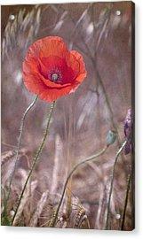 Last Poppy Acrylic Print by Guido Montanes Castillo