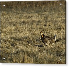 Last Prairie Chicken On The Booming Grounds  Acrylic Print