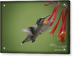 Late Day Snack For The Ruby Acrylic Print by Cris Hayes