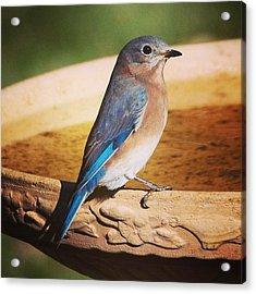 Late Fall Eastern Bluebird Acrylic Print