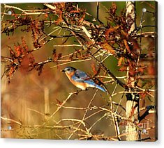 Late Fall Bluebird Acrylic Print
