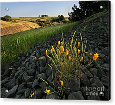 Late Poppies On North Table Mountain Acrylic Print by Matt Tilghman