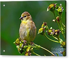 Late Summer Finch Acrylic Print