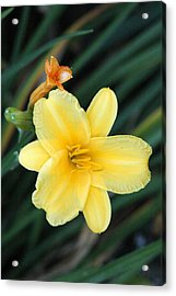 Late Summer Lily Acrylic Print by James Hammen