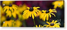 Late Summer Rudbeckia  Acrylic Print by Tim Gainey