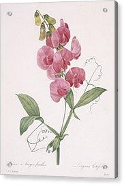 Lathyrus Latifolius Everlasting Pea Acrylic Print by Pierre Joseph Redoute
