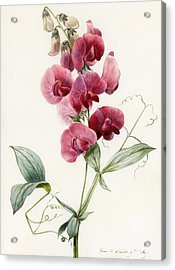 Lathyrus Latifolius Everlasting Pea Acrylic Print by Louise D Orleans