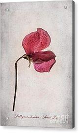 Lathyrus Odoratus - Sweet Pea Acrylic Print by John Edwards