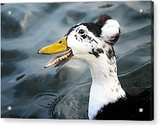 Laughing  Duck Acrylic Print by Caitlyn  Grasso