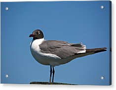Laughing Gull Acrylic Print by Kathi Isserman