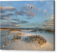 Laughing Gulls Flying Over Dunes Gulf Acrylic Print by Tim Fitzharris