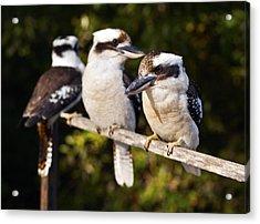 Laughing Kookaburras Acrylic Print by Odille Esmonde-Morgan