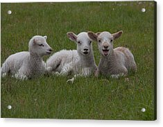 Laughing Lamb Acrylic Print by Richard Baker
