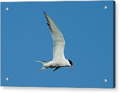 Laughing Tern Acrylic Print