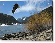 Laurance Eagle Acrylic Print