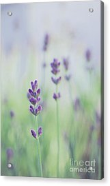 Lavandines - 117 Acrylic Print by Variance Collections